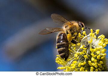 mellifera), fleur, saule, féconder, jaune, abeille, miel,...
