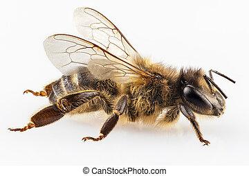 mellifera, nome, apis, abelha, mel, comum, espécie, ocidental