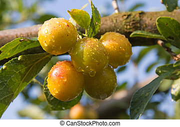 Mellow mirabelles - small yellow plums - on a branch