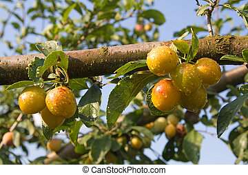 mellow mirabelle - Mellow mirabelles - small yellow plums -...