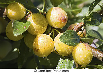 mellow mirabelle - Mellow mirabelles - small yellow plums - ...