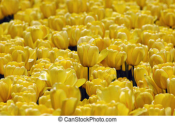 mellow yellow - solid frame of golden yellow tulip blossoms ...