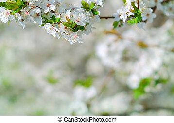 melo, ramo, fiore, in, primavera