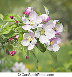 melocotón, flor, flores
