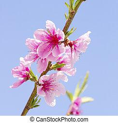 melocotón, flores