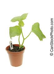 meloen, plant