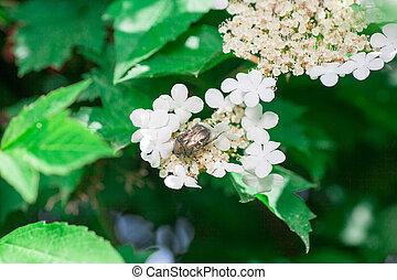 Melolontha melolontha hides under a strawberry leaf.