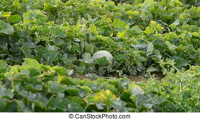 Melon cantaloupe charentais fruit in a agricultural...