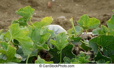 Melon fruit, cantaloupe charentais, in a agricultural...