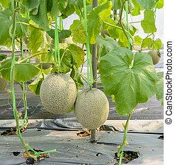 Melon or Cantaloupe fruit on its tree