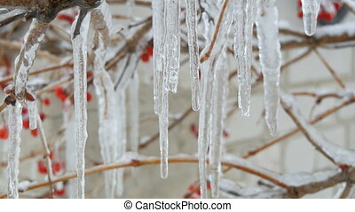 Melting dripping icicles from the branch in early spring...