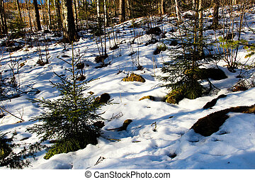 Melting snow in a forest in late winter