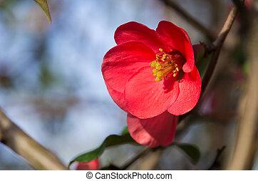 membrillo, flor