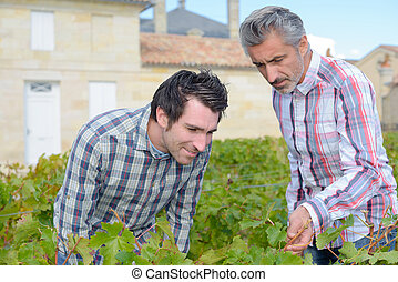 Men inspecting leaves of grapevine