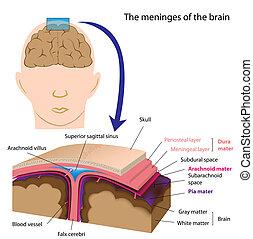 meninges, cérebro, eps8