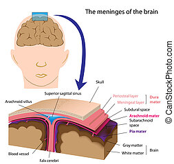Layers of the meninges of the brain