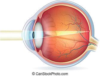 menneske øje, kors sektion, normal, synet