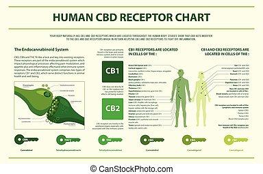 menneske, cbd, infographic, horisontale, receptor, kort