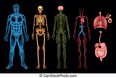 menneske krop, systemer