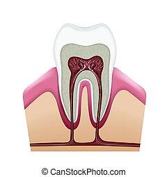 menneske, tand, struktur