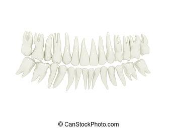menneske tand