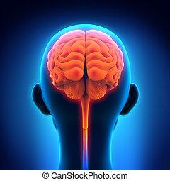 menneskelig hjerne, anatomi