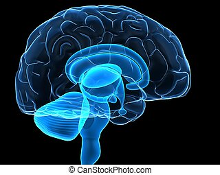 menneskelig hjerne, dele