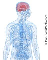 menneskelig hjerne