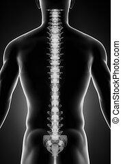 menneskelig rygrad, posterior udsigt