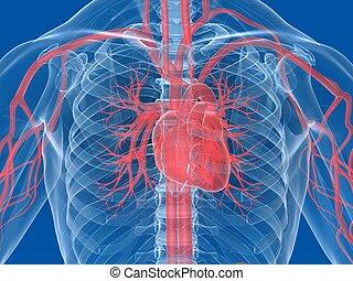 menneskeligt hjerte