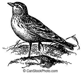 menor, cotovia, pássaro, short-toed