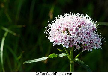 menor, flor, valeriana, alpino