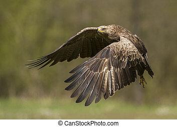 menor, manchado, águila