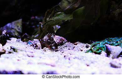 menor, -, scorpionfish, (scorpaena, rojo, notata)