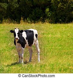 Menorca Friesian cow grazing in green meadow at Balearic
