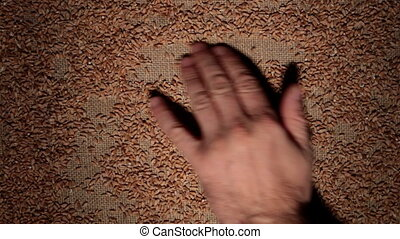 Mens hand cleans wheat grains makes a frame of grains on burlap.
