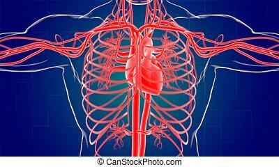 menschliche , 3d, übertragung, koerperbau, begriff, medizin, herz, system, zirkulierend