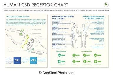 menschliche , cbd, infographic, horizontal, geschaeftswelt, rezeptor, tabelle