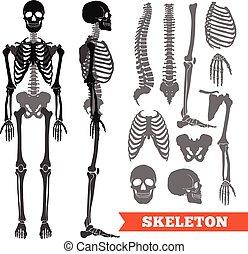 satz skelett menschliche durchsichtig wohnung skelett vektoren suche clipart. Black Bedroom Furniture Sets. Home Design Ideas