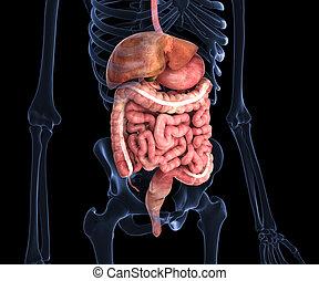 menschliche , organe, inner, röntgenaufnahme