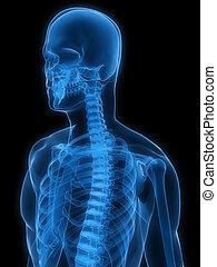 menschliche , röntgenaufnahme, skelett