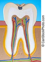 menschliche , struktur, zahn