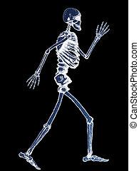 menschliche , voll, skelett, abbildung, röntgenaufnahme
