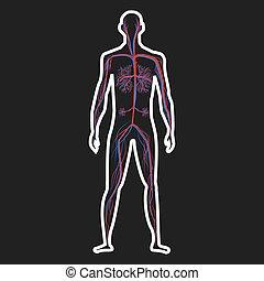 menschliche , zirkulation, system, abbildung, dunkel, vektor, hintergrund