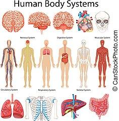 menschlicher körper, ausstellung, systeme, diagramm