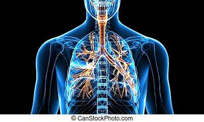 menschlicher körper, organe, (lungs).3d