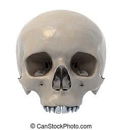 menschlicher schädel, 3d, abbildung