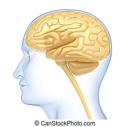 menschliches gehirn, in, der, head., seite, ansicht.