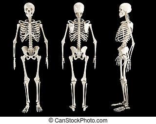 menschliches skelett, drei ansichten