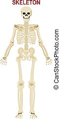 menschliches skelett, weißer hintergrund, freigestellt